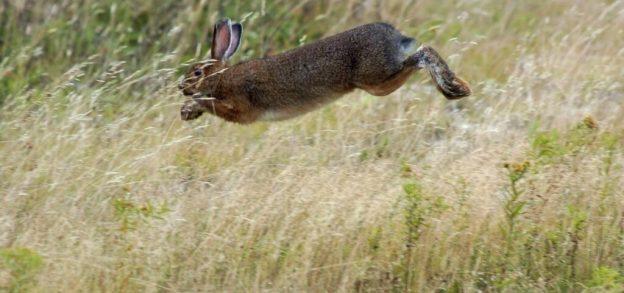 Snowshoe-Hare-1024x481.jpg